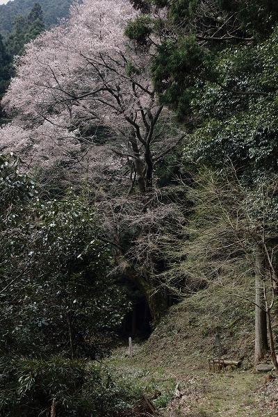 源太桜 160329 07