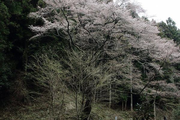 源太桜 160329 08