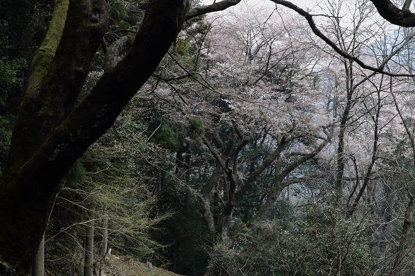 源太桜 160329 09