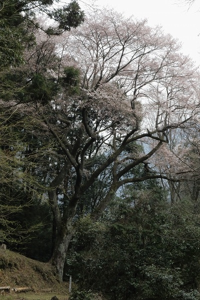 源太桜 160329 10