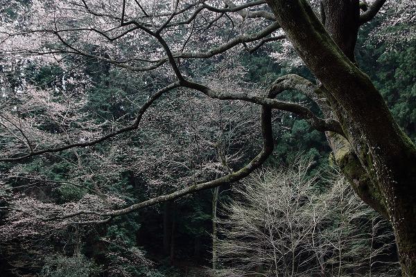 源太桜 160329 11
