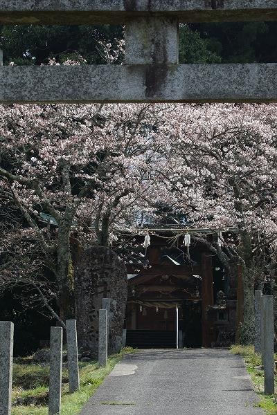 井内吉井神社・ヨメイヨシノ 160329 01