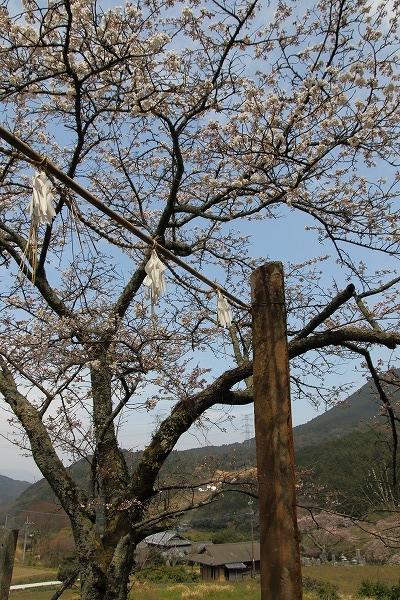 井内吉井神社・ヨメイヨシノ 160329 05