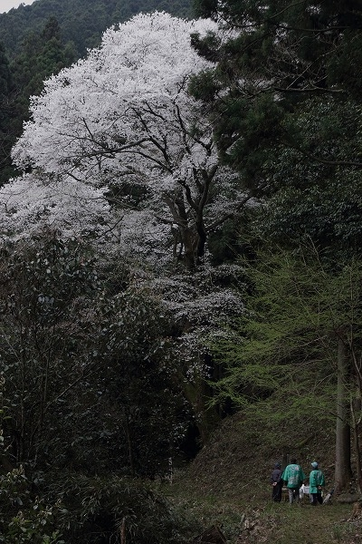 源太桜 160403 01