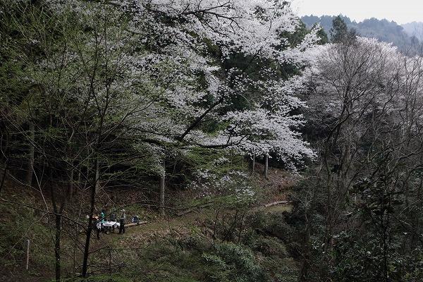 源太桜 160403 08