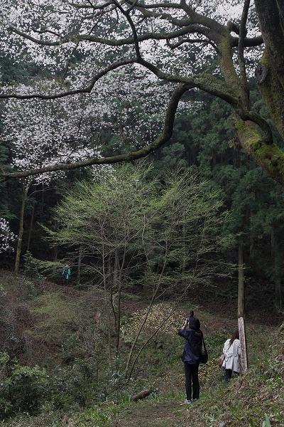 源太桜 160403 07