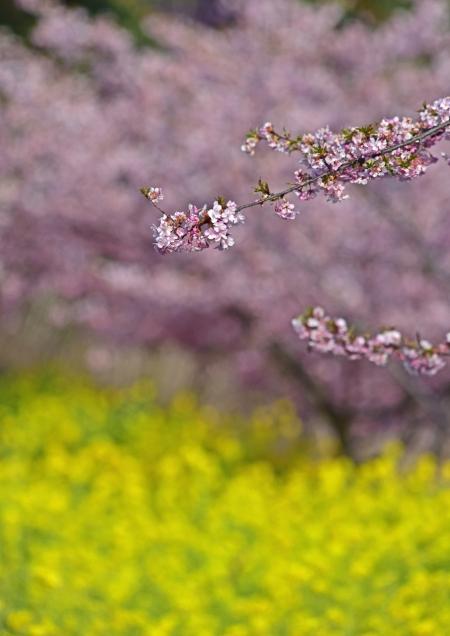 河津桜1 -299