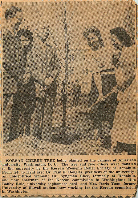 sakura1943 cherry tree article