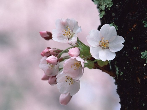 Japanese_Cherry_Blossom_wallpapers_GA032.jpg