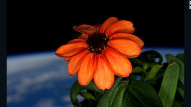 宇宙の百日草space-flower-twitter-scott-kelly