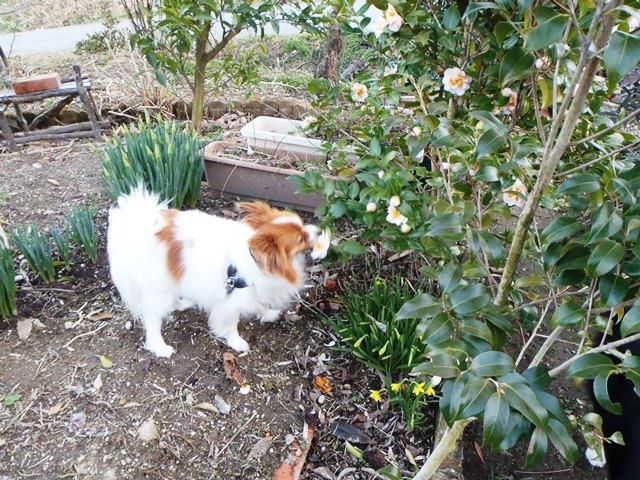 椿を食べる犬20160315