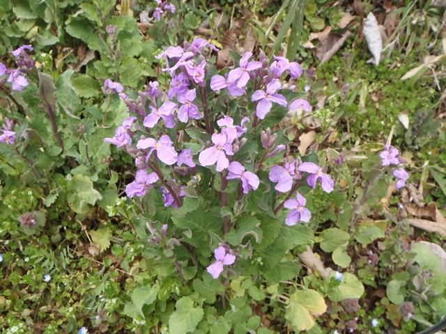 紫花菜20160318