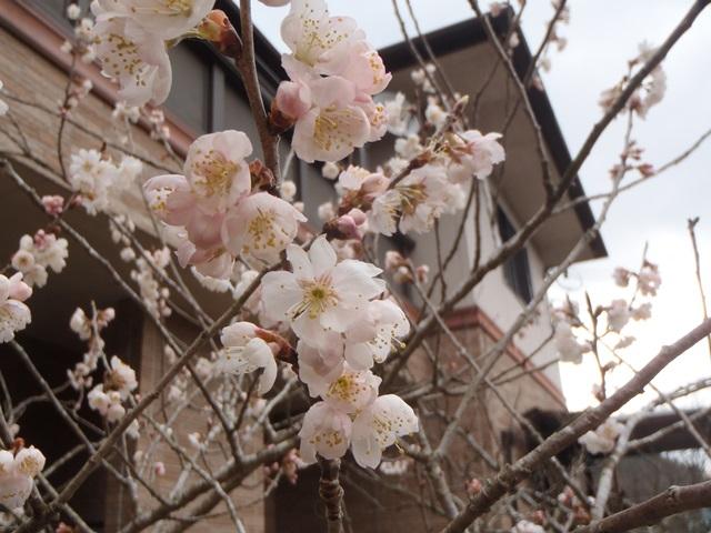 暖地桜桃20160320
