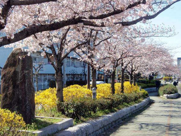 穂積百日堰と桜 (2)