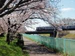 旧猪名川桜 (5)