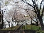 桜 菰江公園 (1)