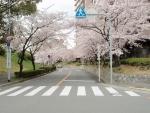 新千里東町3丁目桜 (1)