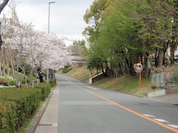 新千里東町3丁目桜 (3)