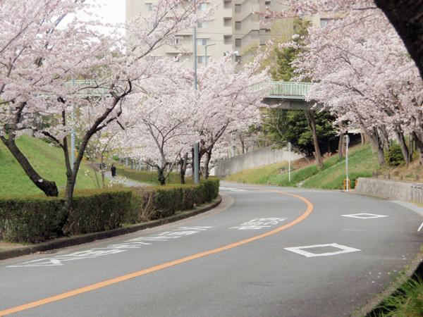 新千里東町3丁目桜 (2)