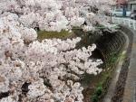 兎川沿い桜 (3)