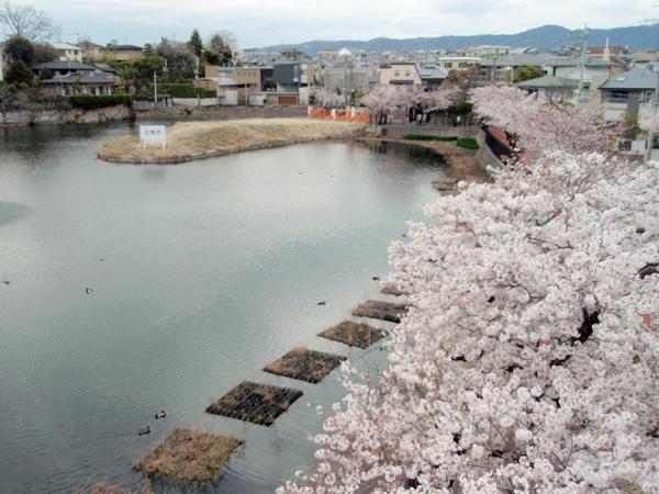 青池 桜 (4)