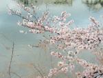 三ツ池の桜 (2)