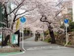 豊中二中東側の桜並木 (1)