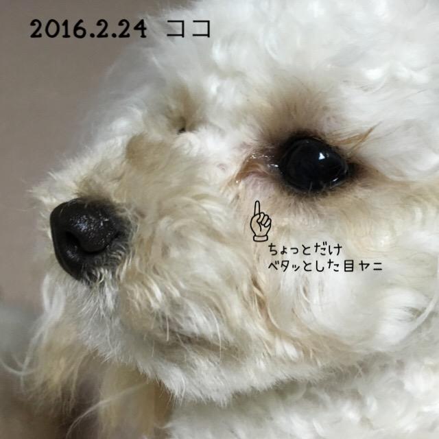 2016.2.24 ココ アイビタ中止中 ベタッとした目ヤニ