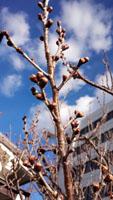 庭の桜 蕾ふくらむa