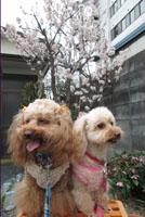 春の記念写真 庭の桜