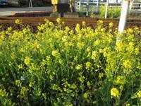 菜の花咲いた春