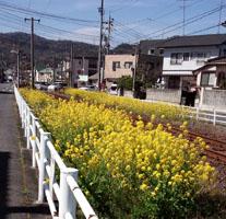 軌道敷の菜の花a
