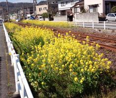 軌道敷の菜の花b