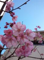 山手2の桜1