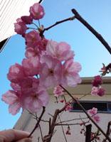 山手2の桜2