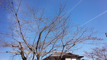 紅葉谷付近の桜