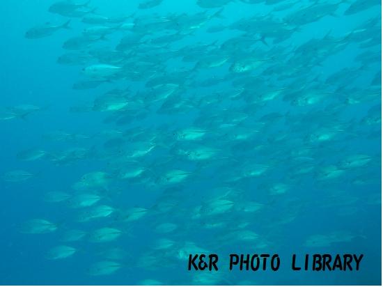 2015年7月17日パラオジャーマンチャネルギンガメアジの群れ1