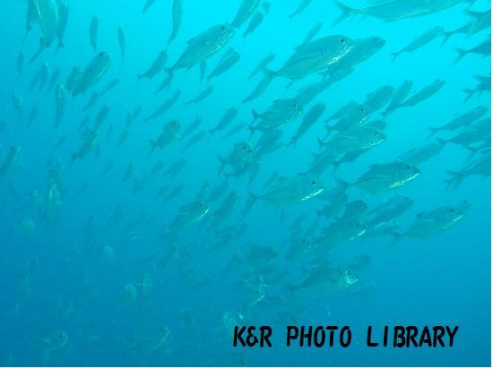 2015年7月17日パラオジャーマンチャネルギンガメアジの群れ2