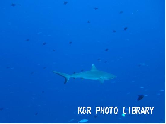 2015年7月17日ブルーコーナーオグロメジロザメ