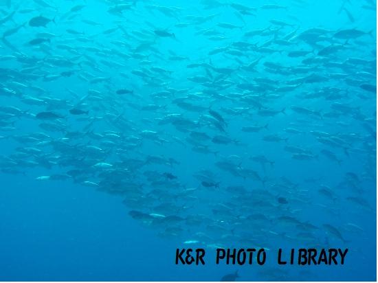 2015年7月17日ブルーコーナーギンガメアジの群れ1