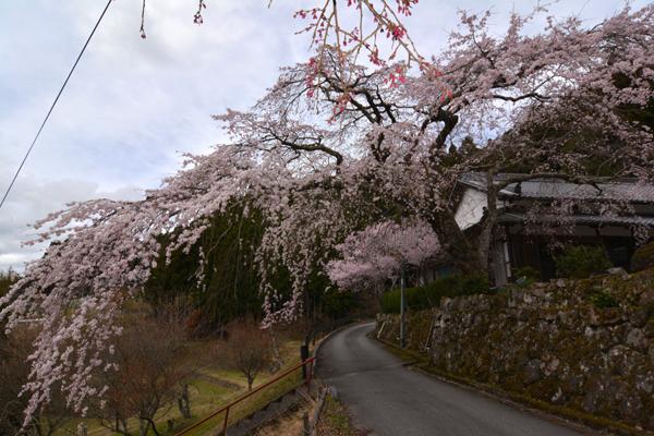 しだれ桜160404