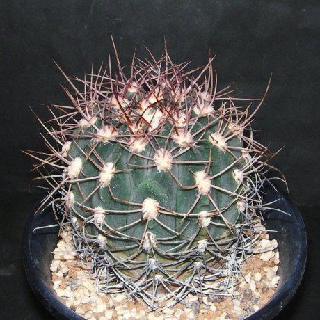 Sany0144--acorrugatum--VS 32--Mesa seed 453.93
