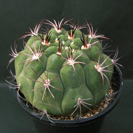 Sany0117--pflanzii ssp dorisiae--RH 2006a--Succseed seed 456 (2002)