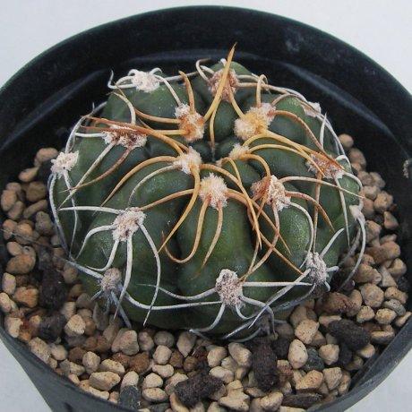 Sany0035--denudatum ssp angulatum--MM 418--Piltz seed 4604