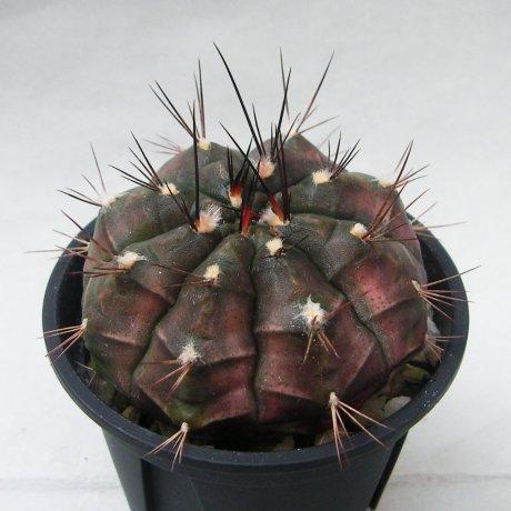 Sany0173--anisitsii ssp volkeri--VoS 039--Piltz seed 5659