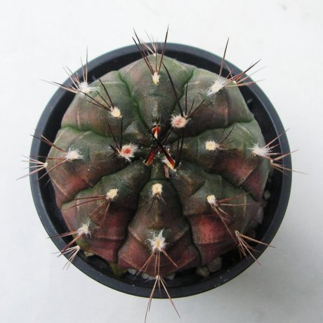 Sany0176--anisitsii ssp volkeri--VoS 039---Piltz seed