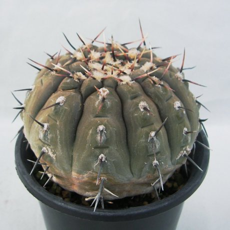 Sany0039--bodenbenderianum--P 206--Piltz seed