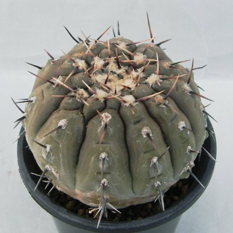 Sany0037--bodenbenderianum--P 206--Piltz seed