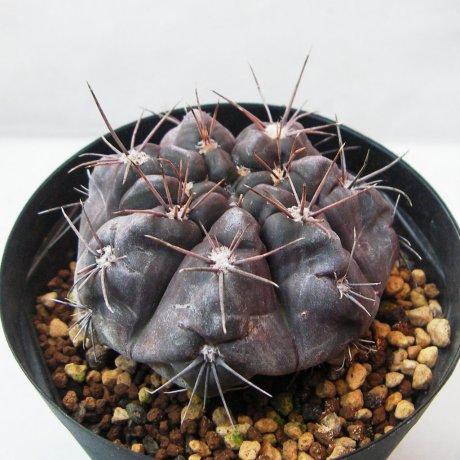 Sany0070--striglianum--LB 290--Bercht seed