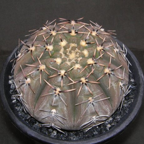 Sany0151--platygonum--STO 474--Mes seed 481.14--ex Milena